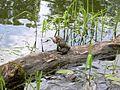 American Toads (Bufo americanus) - Flickr - Jay Sturner (1).jpg