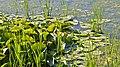 American White Waterlily (Nymphaea odorata) - Kitchener, Ontario.jpg