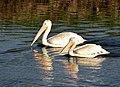 American white pelicans on Seedskadee National Wildlife Refuge (36862164886).jpg