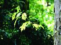 Amerikaanse eik (Quercus rubra) - bladeren, mei 2013.jpg