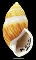 Amphidromus perversus natunensis shell 2.png
