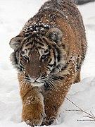Amur Tiger Panthera tigris altaica Cub Walking 1500px.jpg