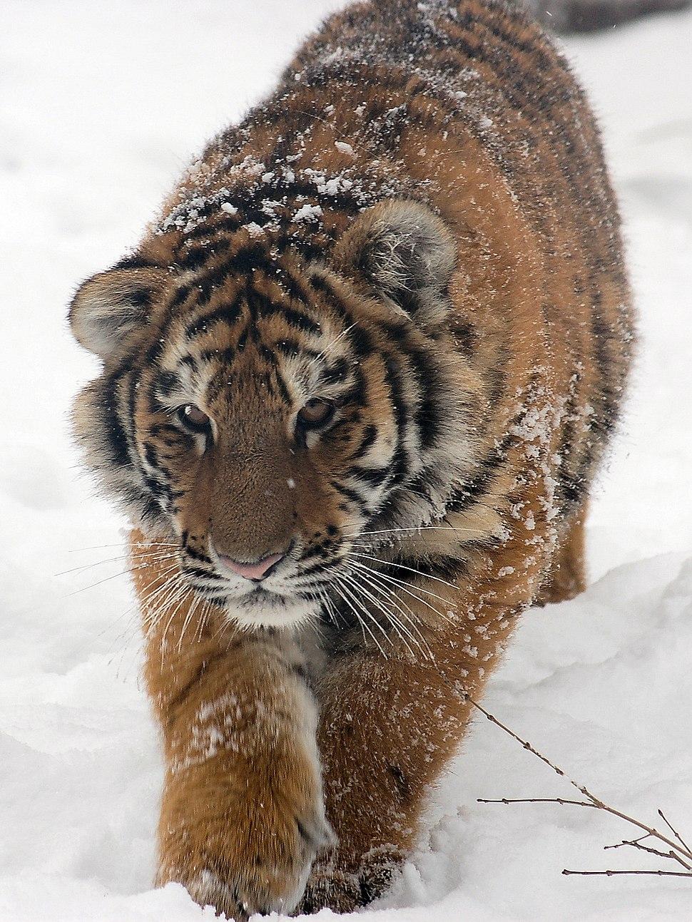 Amur Tiger Panthera tigris altaica Cub Walking 1500px