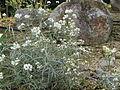 Anaphalis margaritacea subsp yedoensis2.jpg