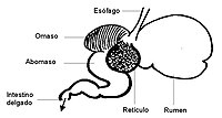 Anatomy and physiology of animals The rumen esp.jpg
