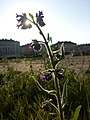 Anchusa officinalis sl16.jpg