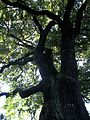"""Ancient OAK TREE, in Brwinow Poland, located on Pszczelinska nr.6 - 8, zip code 05-840. Named """" LOTAN """". The tree is a Monument of Nature..JPG"""