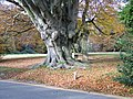 Ancient beech pollard-Box-Hill.jpg