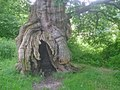 Ancient oak in Calke Park - geograph.org.uk - 1429075.jpg