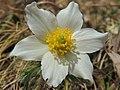 Anemone (Pulsatilla) alpina (34496942753).jpg