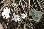 Anemone hepatica Ryozensan 2009-3-16.jpg