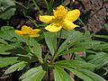 Anemone ranunculoides20120428 051.jpg