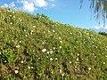Anemone sylvestris sl36.jpg