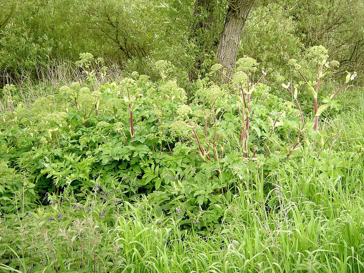 Angelica archangelica subsp. litoralis