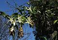 Angraecum sesquipedale (14877836163).jpg