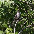 Angry Mockingbird (46985120644).jpg