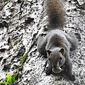 Animal Red-bellied squirrel Callosciurus erythraeus 01.jpg