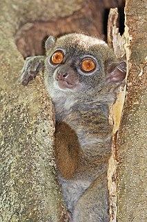 Sportive lemur genus of mammals