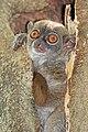 Ankarana sportive lemur (Lepilemur ankaranensis).jpg