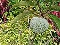 Annona squamosa (Annonaceae).jpg