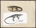 Anolis gracilis - 1700-1880 - Print - Iconographia Zoologica - Special Collections University of Amsterdam - UBA01 IZ12800015a.tif