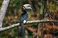 Anthracoceros albirostris, Oriental pied hornbill - Kaeng Krachan National Park (23576110199).jpg