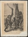Anthropopithecus gorilla - 1700-1880 - Print - Iconographia Zoologica - Special Collections University of Amsterdam - UBA01 IZ19800125.tif