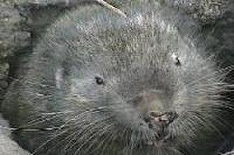 Mammal classification - Aplodontia