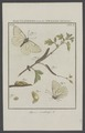 Aporia - Print - Iconographia Zoologica - Special Collections University of Amsterdam - UBAINV0274 003 04 0002.tif