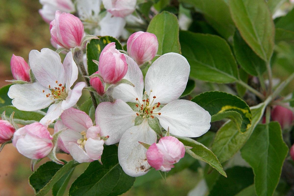 Blossom wiktionary mightylinksfo