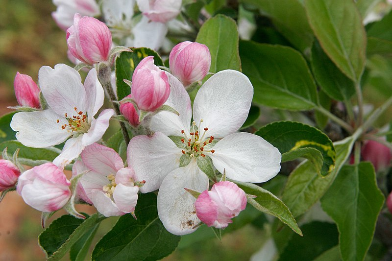 File:Apple blossoms.jpg