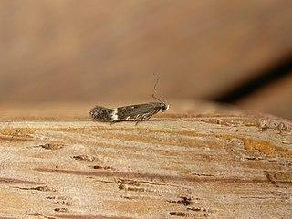 <i>Aproaerema simplexella</i> Species of moth