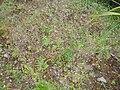Arabidopsis thaliana (L.) Heynh. (AM AK297547-2).jpg