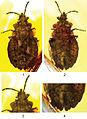 Aradus macrosomus - Deutsche Entomologische Zeitschrift -061-025-g001.jpg