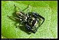 Araneae (5521476543).jpg