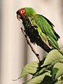 Aratinga -San Francisco -feral parrot-8d.jpg