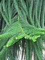 Araucaria heterophylla 21 by Line1.JPG