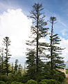 Araucaria heterophylla Kingston 4.jpg