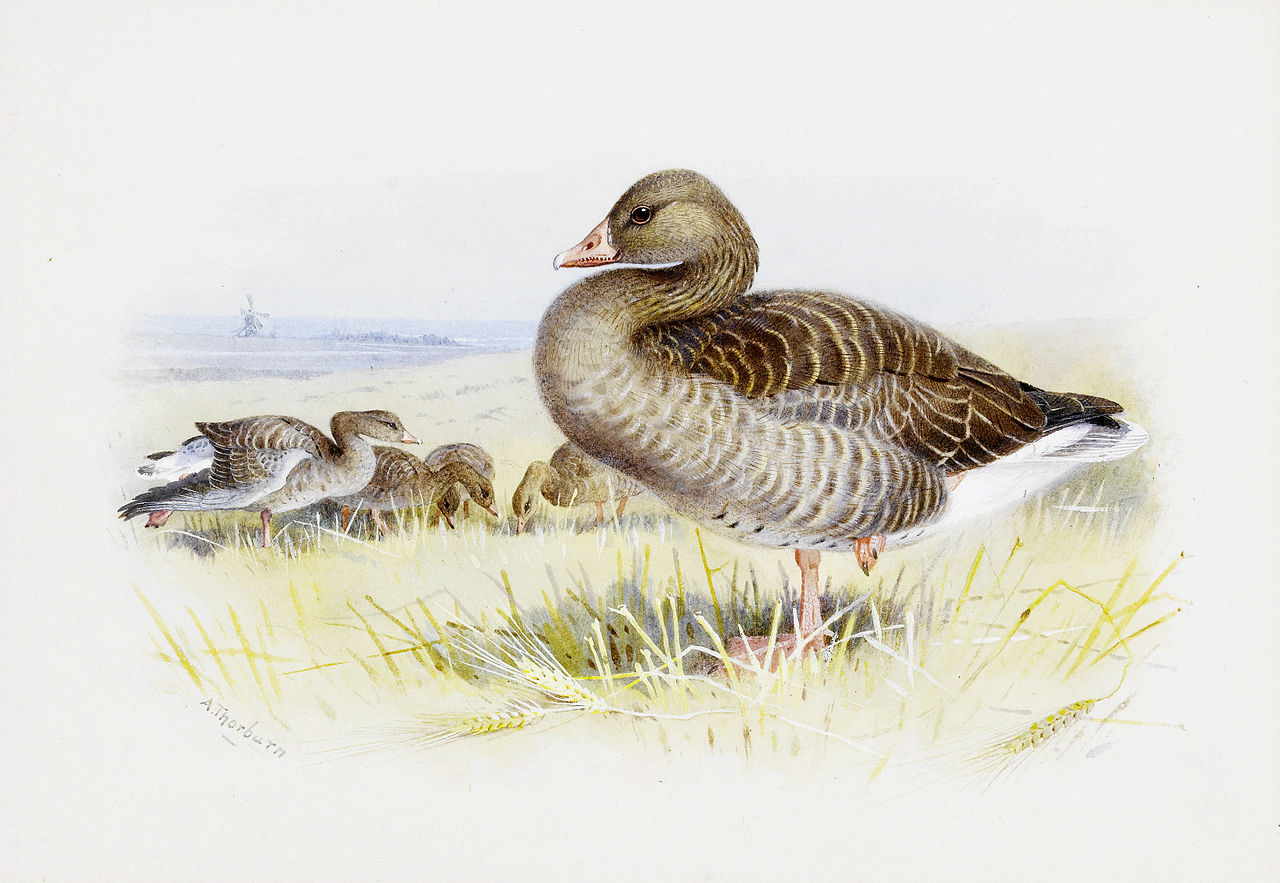 Арчибальд Торберн Greylag goose.jpg