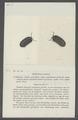 Armadillo convexus - - Print - Iconographia Zoologica - Special Collections University of Amsterdam - UBAINV0274 098 09 0014.tif