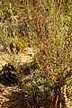 Artemisia gallica304.jpg
