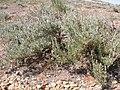 Artemisia tridentata wyomingensis (3848563215).jpg