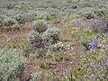Artemisia tridentata wyomingensis (4430652018).jpg