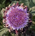 Artichoke thistle at BBG (70713)b.jpg