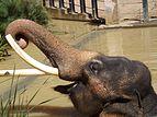 Asian Elephant 11.jpg