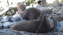 Файл:Asian small-clawed otter playing with rock.webm