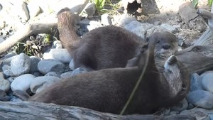 File:Asian small-clawed otter playing with rock.webm
