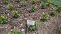 Asteraceae1१.jpg