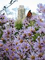 Asters and Monarch (398994044).jpg