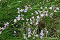 Astragalus austriacus (Österreich-Tragant) IMG 9338.JPG